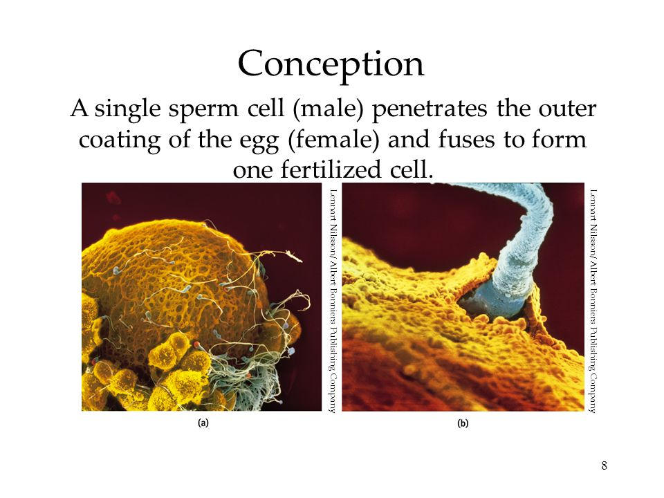 8 Conception A single sperm cell (male) penetrates the outer coating of the egg (female) and fuses to form one fertilized cell. Lennart Nilsson/ Alber