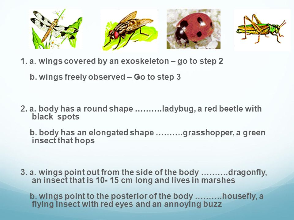 1. a. wings covered by an exoskeleton – go to step 2 b. wings freely observed – Go to step 3 2. a. body has a round shape ……….ladybug, a red beetle wi