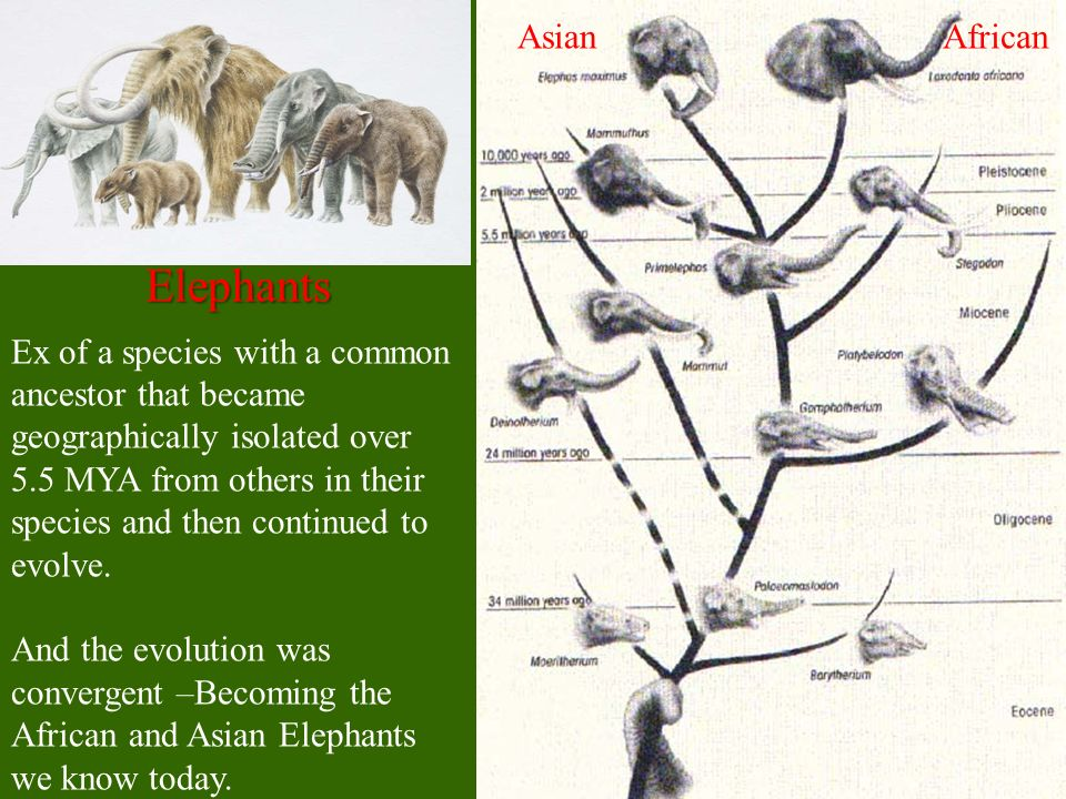 Elephants Ex of a species with a common ancestor that became geographically isolated over 5.5 MYA from others in their species and then continued to e