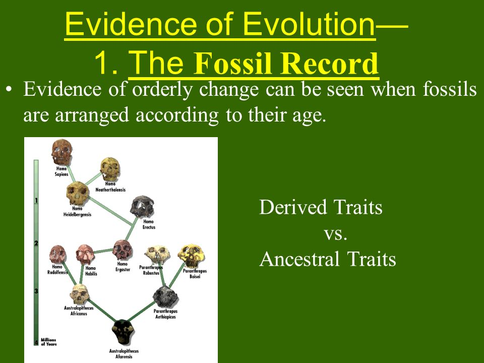 Evidence of Evolution 1. The Fossil Record Evidence of orderly change can be seen when fossils are arranged according to their age. Derived Traits vs.