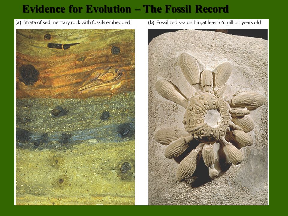8 Evidence for Evolution – The Fossil Record