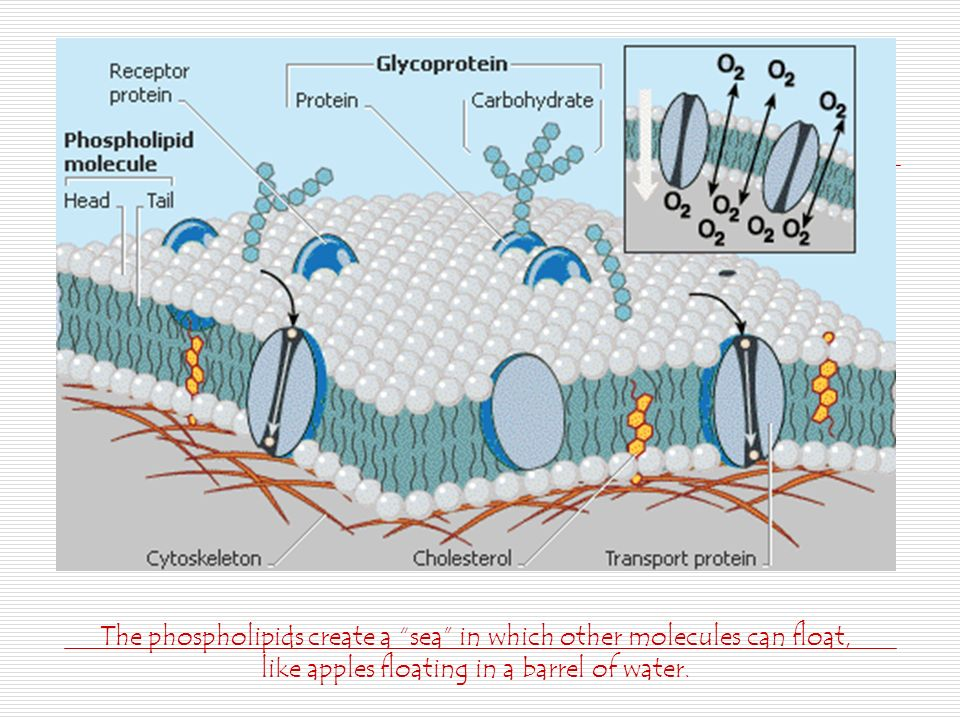 The phospholipids create a sea in which other molecules can float, like apples floating in a barrel of water.