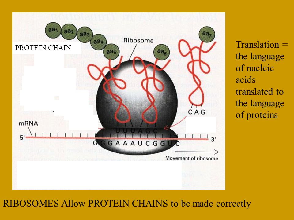 JHK PROTEIN CHAIN JHK RIBOSOMES Allow PROTEIN CHAINS to be made correctly Translation = the language of nucleic acids translated to the language of pr
