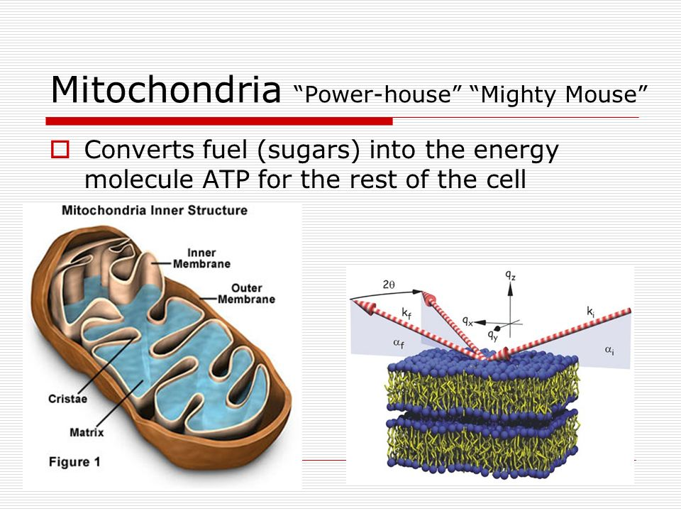 Mitochondria Power-house Mighty Mouse Converts fuel (sugars) into the energy molecule ATP for the rest of the cell