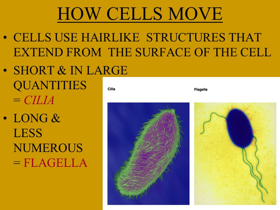 HOW CELLS MOVE CELLS USE HAIRLIKE STRUCTURES THAT EXTEND FROM THE SURFACE OF THE CELL SHORT & IN LARGE QUANTITIES = CILIA LONG & LESS NUMEROUS = FLAGE