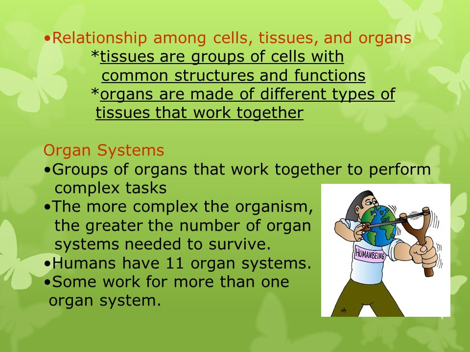 Relationship among cells, tissues, and organs *tissues are groups of cells with common structures and functions *organs are made of different types of