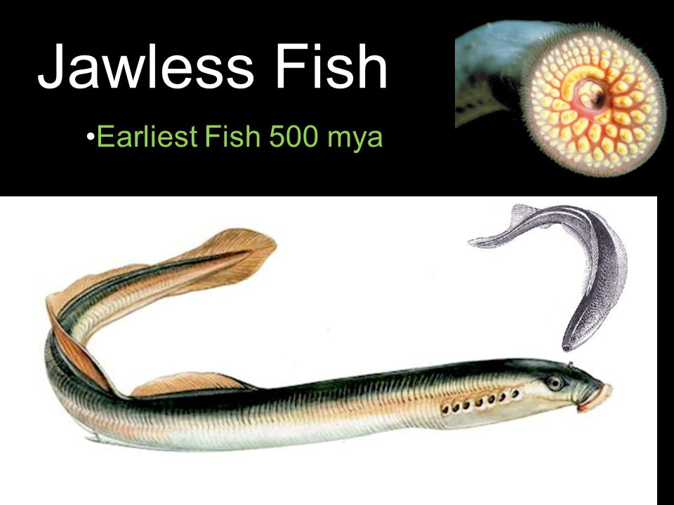 Jawless Fish Earliest Fish 500 mya