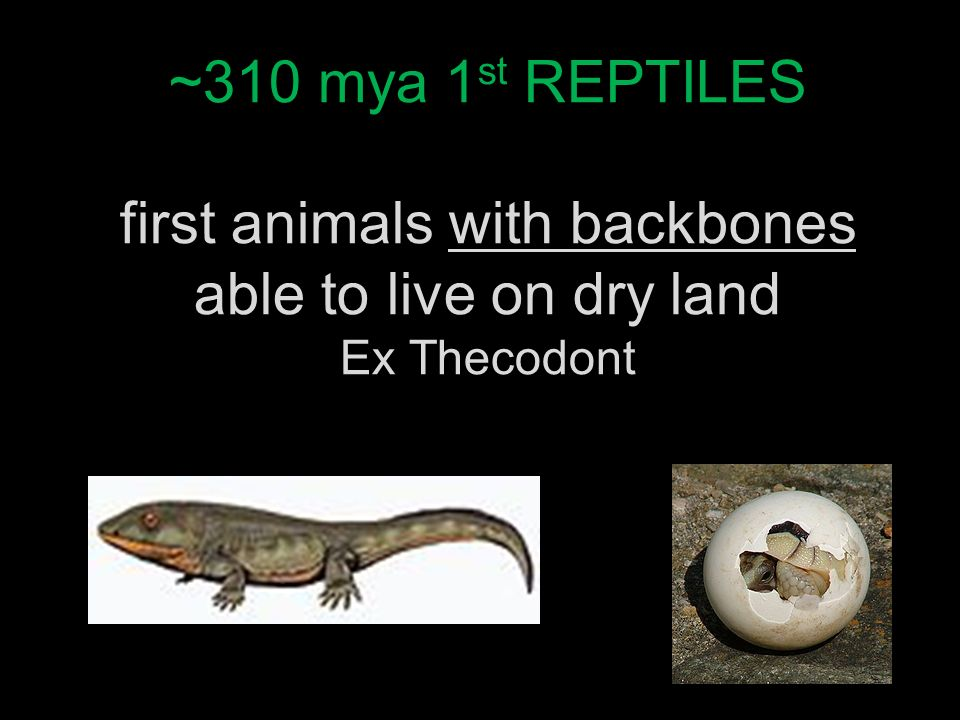 ~310 mya 1 st REPTILES first animals with backbones able to live on dry land Ex Thecodont