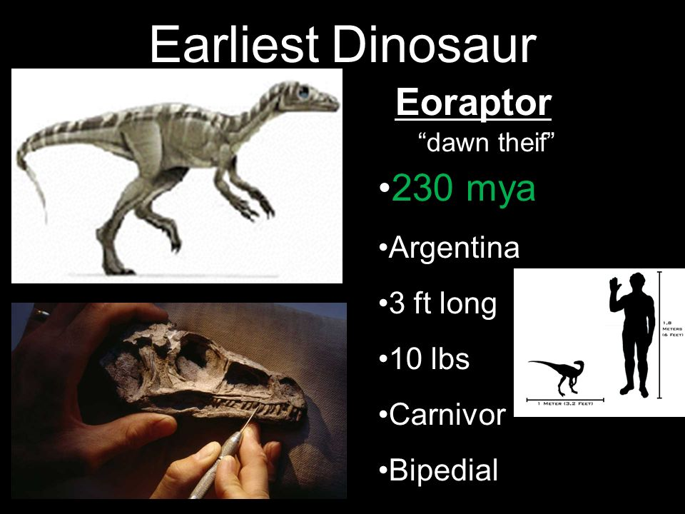 Earliest Dinosaur Eoraptor 230 mya Argentina 3 ft long 10 lbs Carnivor Bipedial dawn theif