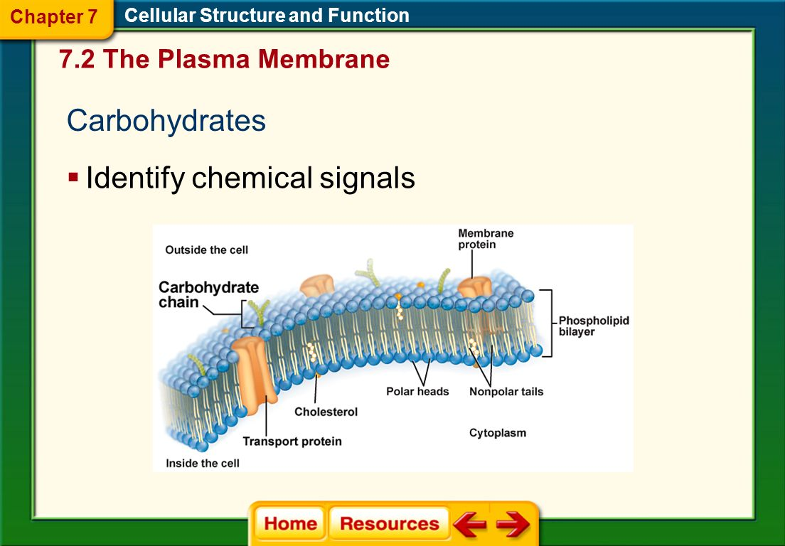Cholesterol Cellular Structure and Function Prevents fatty acid tails from sticking together 7.2 The Plasma Membrane Chapter 7