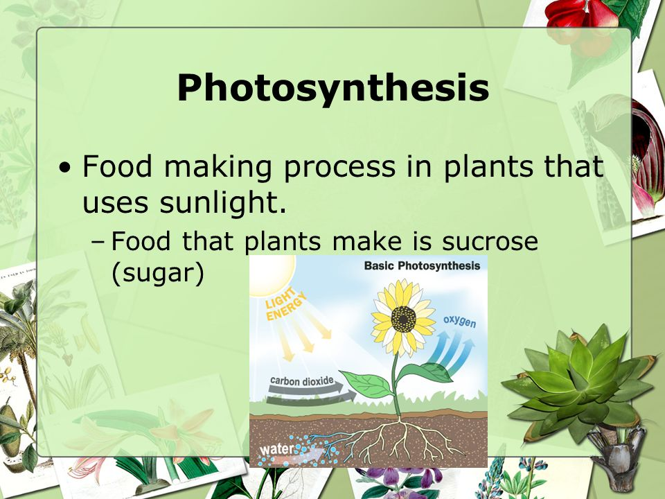 Photosynthesis Green plants are autotrophs (make their own food in their leaves) Leaves are known as food factories –Site of photosynthesis