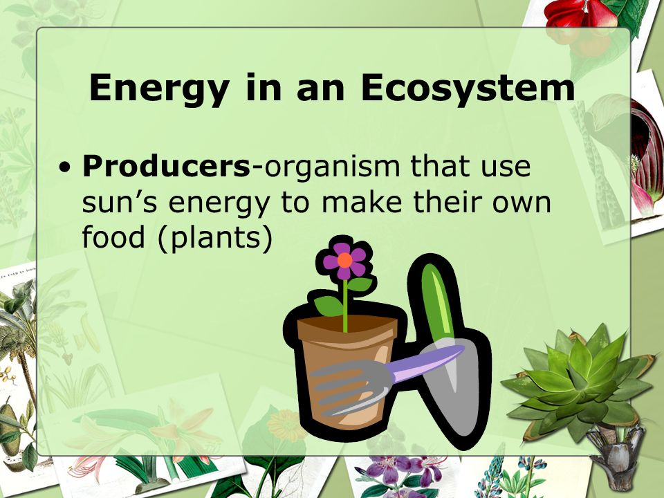 Energy in an Ecosystem Producers-organism that use suns energy to make their own food (plants)