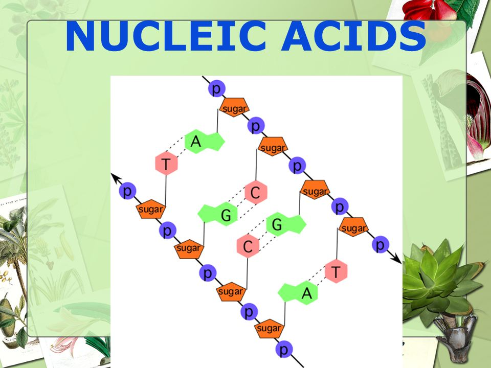 Nucleic Acid Nucleotides (building blocks) join together to create nucleic acids –2 Types: DNA and RNA Stores and transmits hereditary information DNA