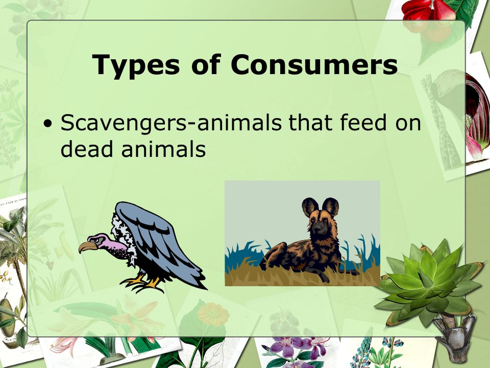 Types of Consumers Omnivore: organisms that eat both plants and animals