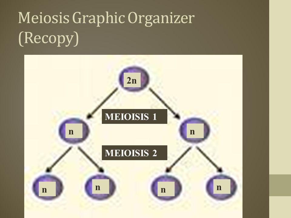 Meiosis Graphic Organizer (Recopy) 2n nn n nn n MEIOISIS 1 MEIOISIS 2