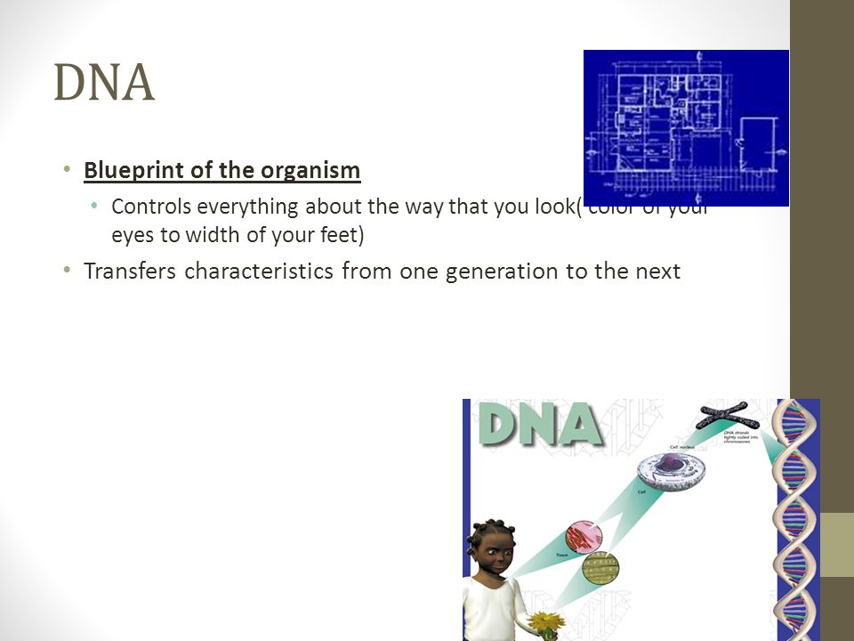 DNA Blueprint of the organism Controls everything about the way that you look( color of your eyes to width of your feet) Transfers characteristics from one generation to the next