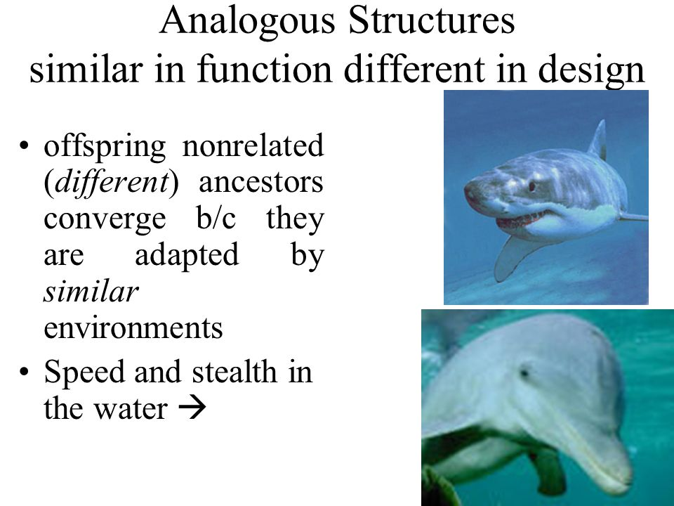 Analogous Structures similar in function different in design offspring nonrelated (different) ancestors converge b/c they are adapted by similar environments Speed and stealth in the water