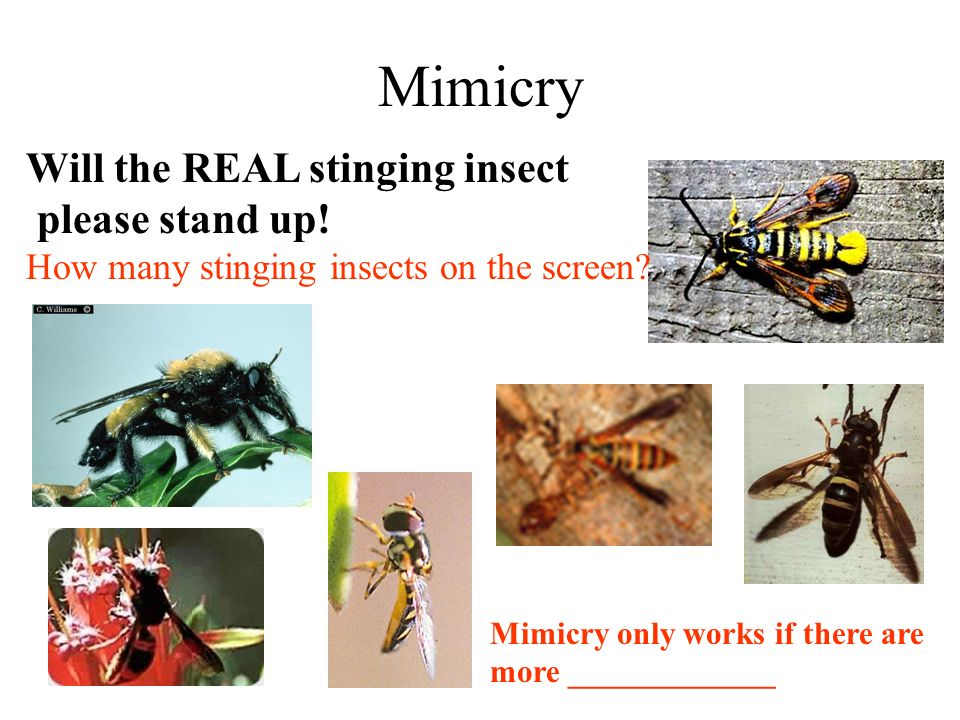 Mimicry Will the REAL stinging insect please stand up.