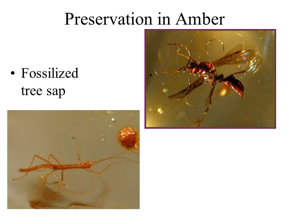 Preservation in Amber Fossilized tree sap