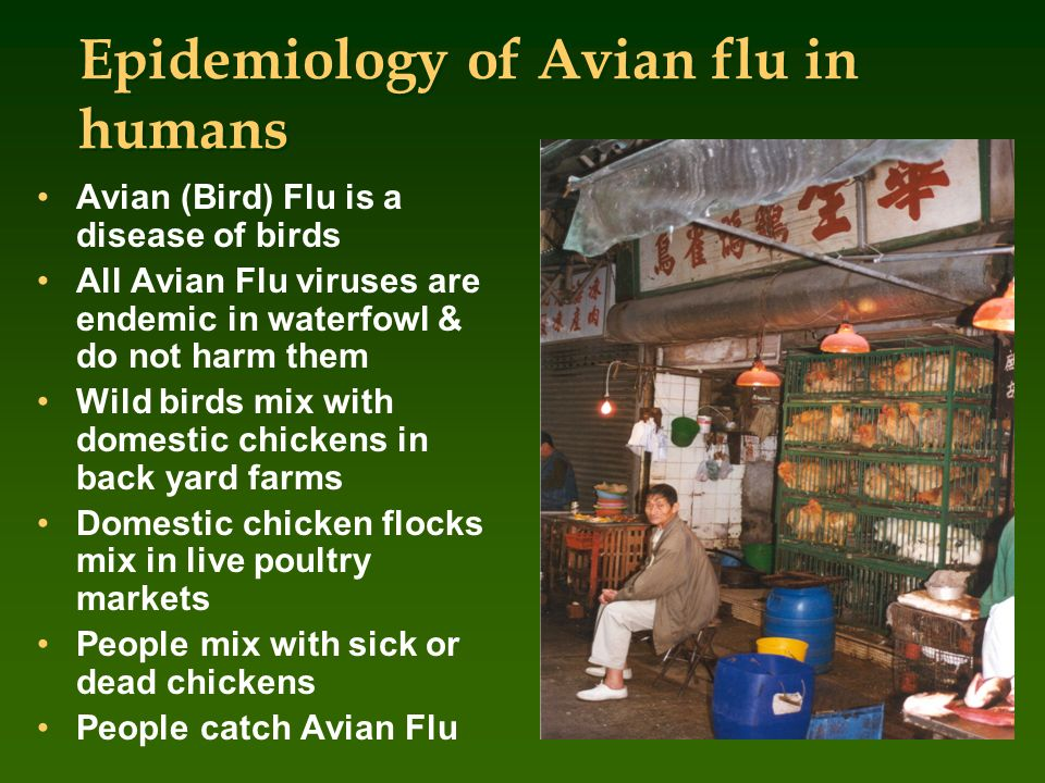 Epidemiology of Avian flu in humans Avian (Bird) Flu is a disease of birds All Avian Flu viruses are endemic in waterfowl & do not harm them Wild bird