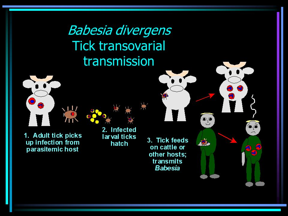 Babesiosis Symptoms 1-6 wks after tick feeds Variable –Asymptomatic infection –Mild to moderate illness –Severe disease – usually immunosuppressed Medication Splenectomy HIV co-infection Malignancy