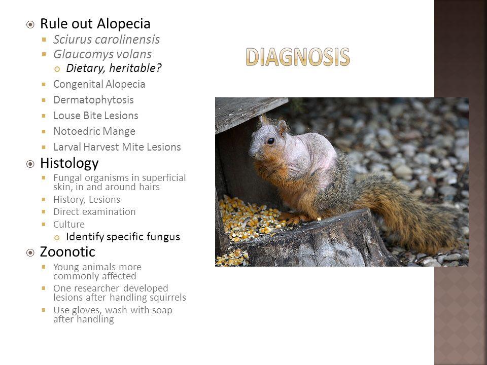 Rule out Alopecia Sciurus carolinensis Glaucomys volans Dietary, heritable? Congenital Alopecia Dermatophytosis Louse Bite Lesions Notoedric Mange Lar