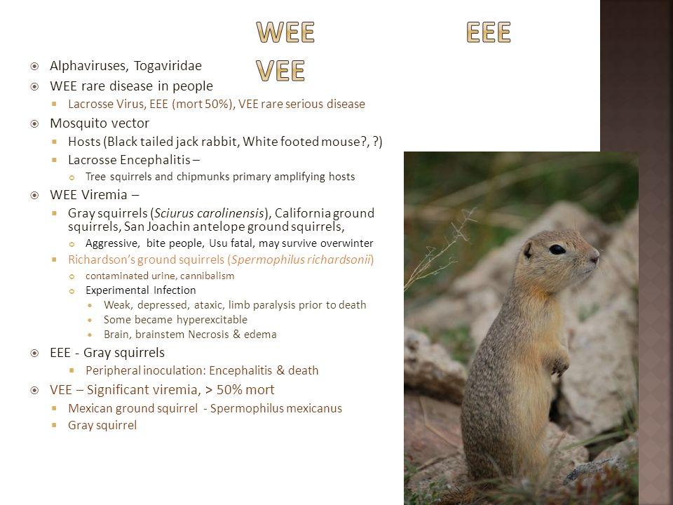 Alphaviruses, Togaviridae WEE rare disease in people Lacrosse Virus, EEE (mort 50%), VEE rare serious disease Mosquito vector Hosts (Black tailed jack