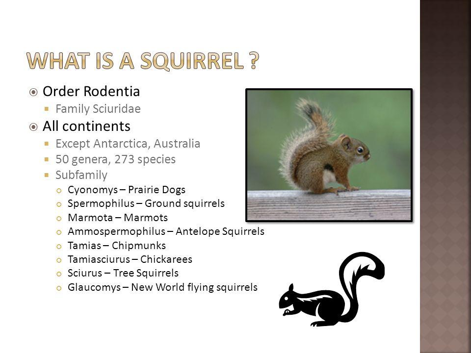 Order Rodentia Family Sciuridae All continents Except Antarctica, Australia 50 genera, 273 species Subfamily Cyonomys – Prairie Dogs Spermophilus – Gr