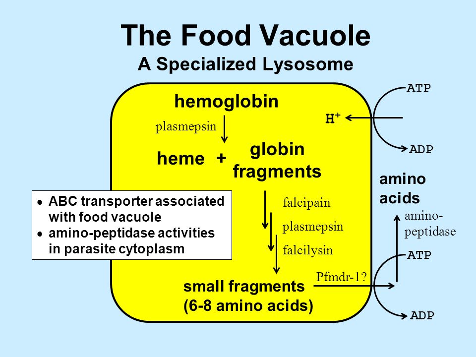 The Food Vacuole A Specialized Lysosome hemoglobin +heme globin fragments small fragments (6-8 amino acids) ATP ADP ATP ADP H+H+ plasmepsin falcipain