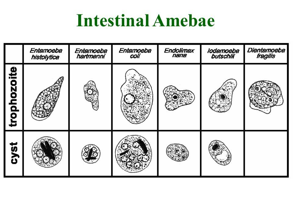Intestinal Amebae