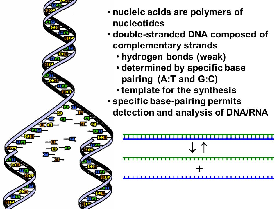 nucleic acids are polymers of nucleotides double-stranded DNA composed of complementary strands hydrogen bonds (weak) determined by specific base pairing (A:T and G:C) template for the synthesis specific base-pairing permits detection and analysis of DNA/RNA