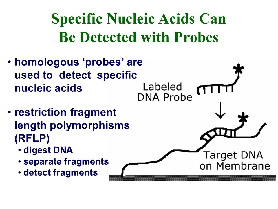 homologous probes are used to detect specific nucleic acids restriction fragment length polymorphisms (RFLP) digest DNA separate fragments detect fragments Specific Nucleic Acids Can Be Detected with Probes