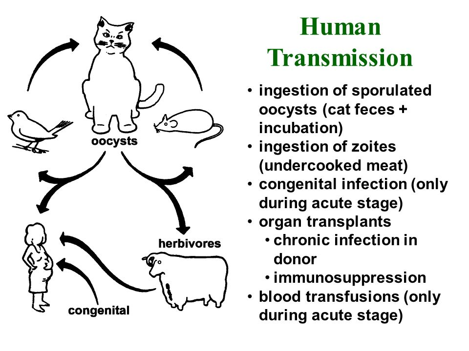 ingestion of sporulated oocysts (cat feces + incubation) ingestion of zoites (undercooked meat) congenital infection (only during acute stage) organ t