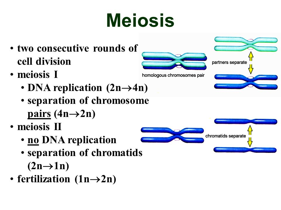 Meiosis two consecutive rounds of cell division meiosis I DNA replication (2n 4n) separation of chromosome pairs (4n 2n) meiosis II no DNA replication