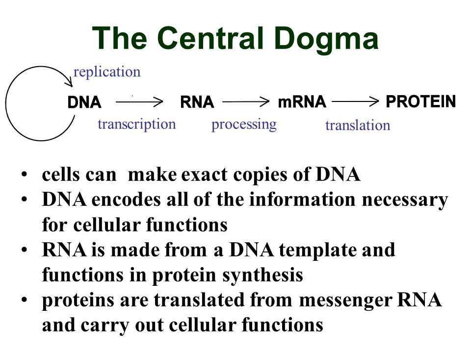 The Central Dogma replication transcriptionprocessing translation cells can make exact copies of DNA DNA encodes all of the information necessary for