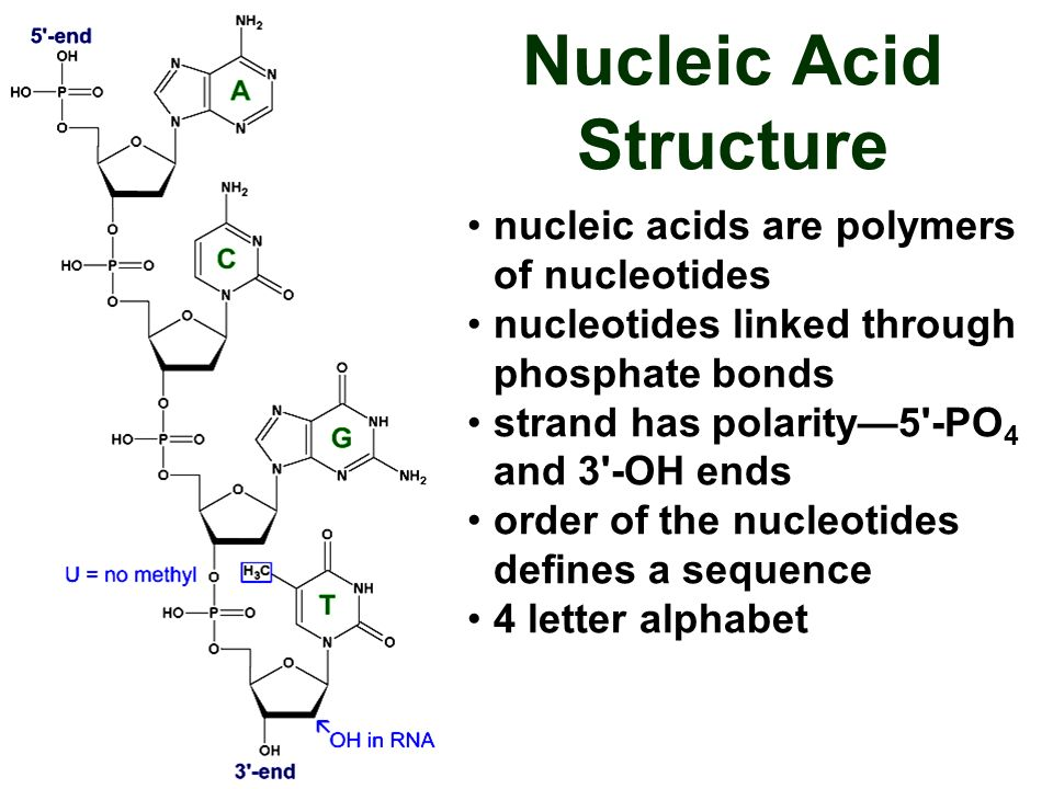 nucleic acids are polymers of nucleotides nucleotides linked through phosphate bonds strand has polarity5'-PO 4 and 3'-OH ends order of the nucleotide