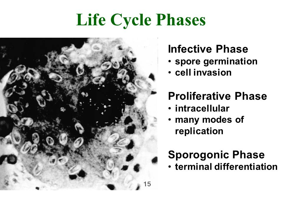 Life Cycle Phases Infective Phase spore germination cell invasion Proliferative Phase intracellular many modes of replication Sporogonic Phase terminal differentiation