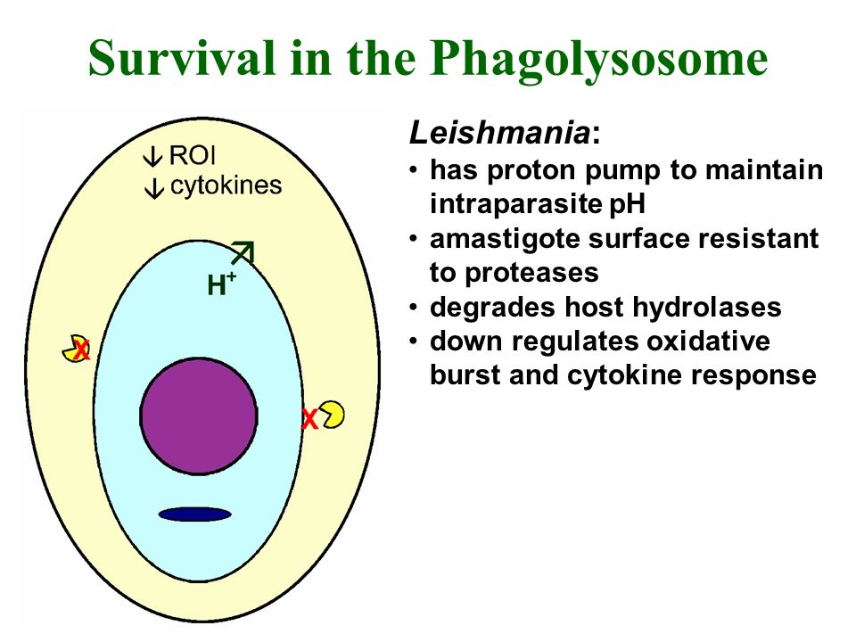Survival in the Phagolysosome Leishmania: has proton pump to maintain intraparasite pH amastigote surface resistant to proteases degrades host hydrola