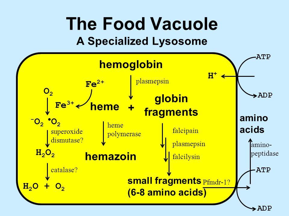 The Food Vacuole A Specialized Lysosome amino- peptidase hemoglobin + heme globin fragments small fragments (6-8 amino acids) hemazoin ATP ADP ATP ADP H+H+ Fe 3+ Fe 2+ O2O2 H2O2H2O2 H 2 O + O 2 - O 2 O 2 superoxide dismutase.