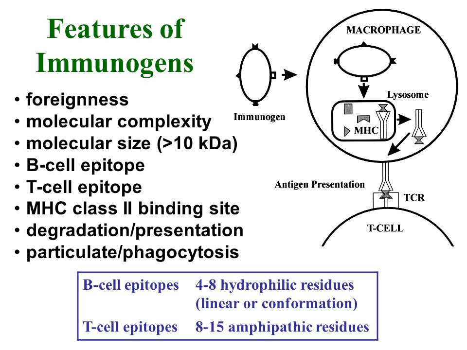 foreignness molecular complexity molecular size (>10 kDa) B-cell epitope T-cell epitope MHC class II binding site degradation/presentation particulate/phagocytosis Features of Immunogens B-cell epitopes4-8 hydrophilic residues (linear or conformation) T-cell epitopes8-15 amphipathic residues