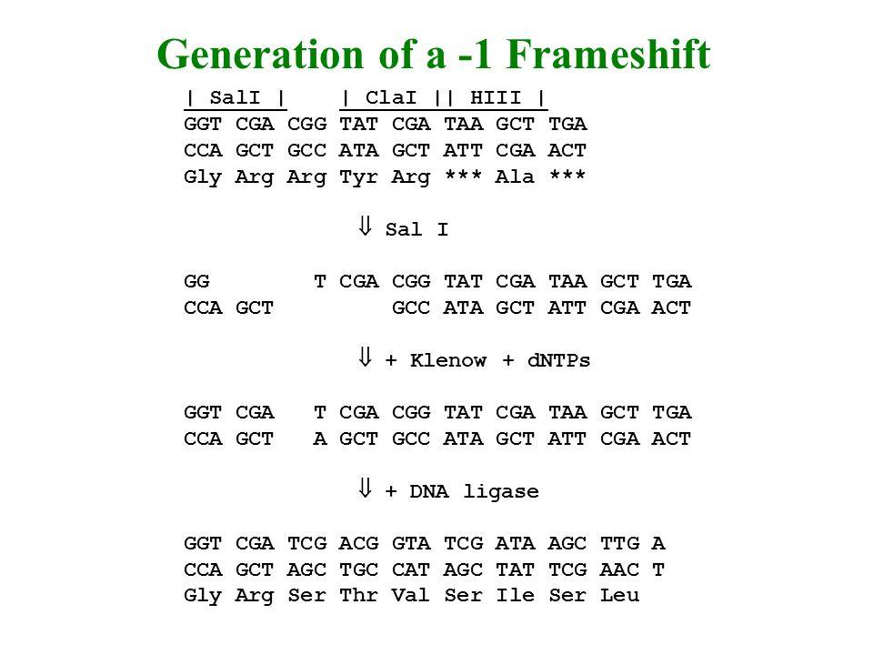 | SalI | | ClaI || HIII | GGT CGA CGG TAT CGA TAA GCT TGA CCA GCT GCC ATA GCT ATT CGA ACT Gly Arg Arg Tyr Arg *** Ala *** Sal I GG T CGA CGG TAT CGA TAA GCT TGA CCA GCT GCC ATA GCT ATT CGA ACT + Klenow + dNTPs GGT CGA T CGA CGG TAT CGA TAA GCT TGA CCA GCT A GCT GCC ATA GCT ATT CGA ACT + DNA ligase GGT CGA TCG ACG GTA TCG ATA AGC TTG A CCA GCT AGC TGC CAT AGC TAT TCG AAC T Gly Arg Ser Thr Val Ser Ile Ser Leu Generation of a -1 Frameshift