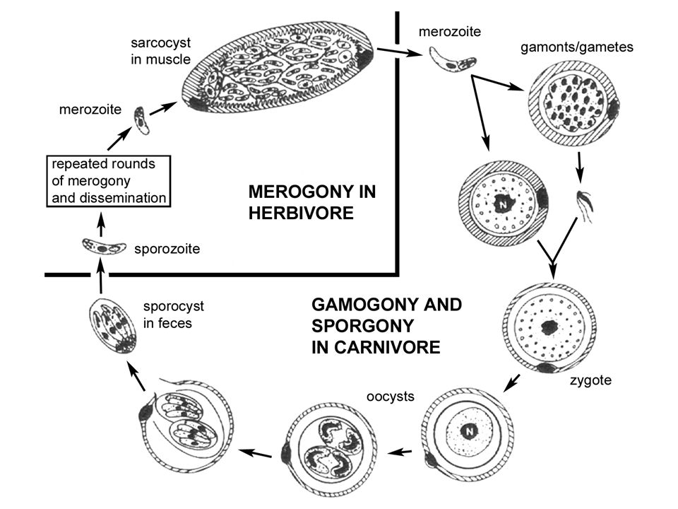 Muscle Disease ingest sporocysts (sporadic reports) develop sarcocysts several 100 m compartments sometimes thick striated wall muscle tenderness episodic inflammation