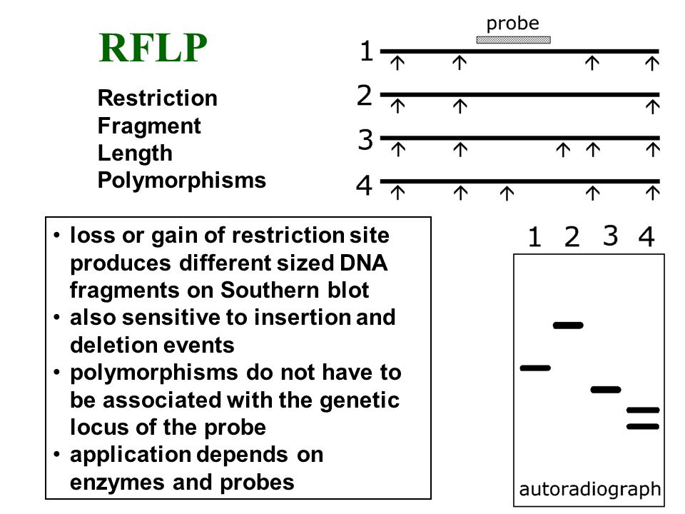 RFLP Restriction Fragment Length Polymorphisms loss or gain of restriction site produces different sized DNA fragments on Southern blot also sensitive