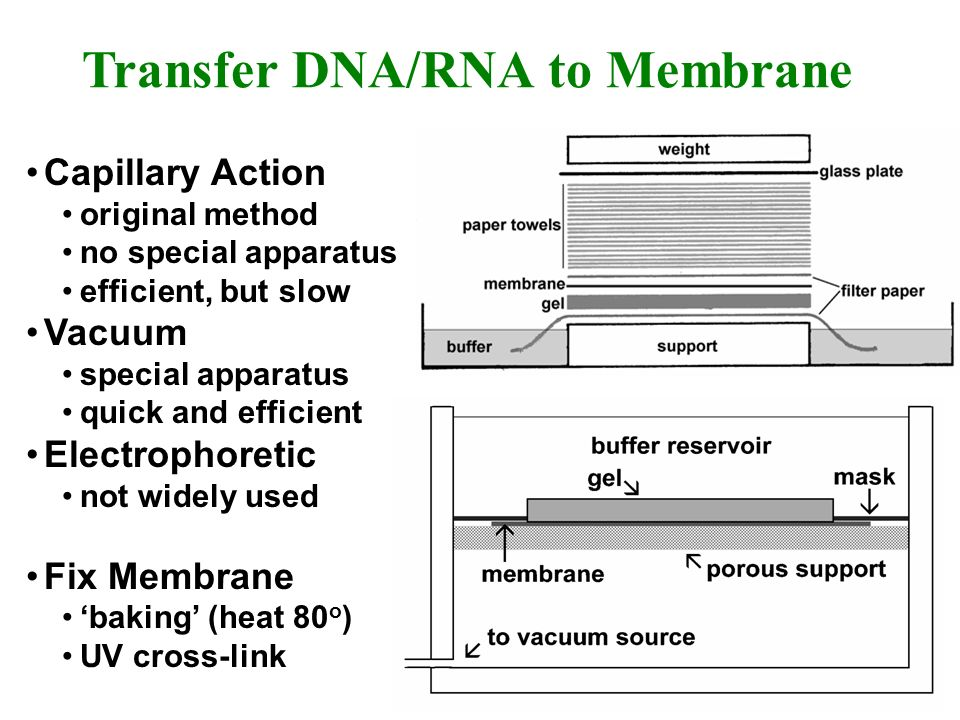 Transfer DNA/RNA to Membrane Capillary Action original method no special apparatus efficient, but slow Vacuum special apparatus quick and efficient El