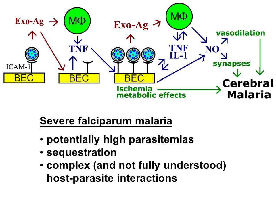 Severe falciparum malaria potentially high parasitemias sequestration complex (and not fully understood) host-parasite interactions