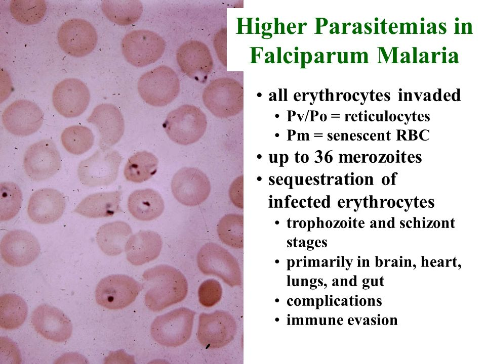 all erythrocytes invaded Pv/Po = reticulocytes Pm = senescent RBC up to 36 merozoites sequestration of infected erythrocytes trophozoite and schizont stages primarily in brain, heart, lungs, and gut complications immune evasion Higher Parasitemias in Falciparum Malaria