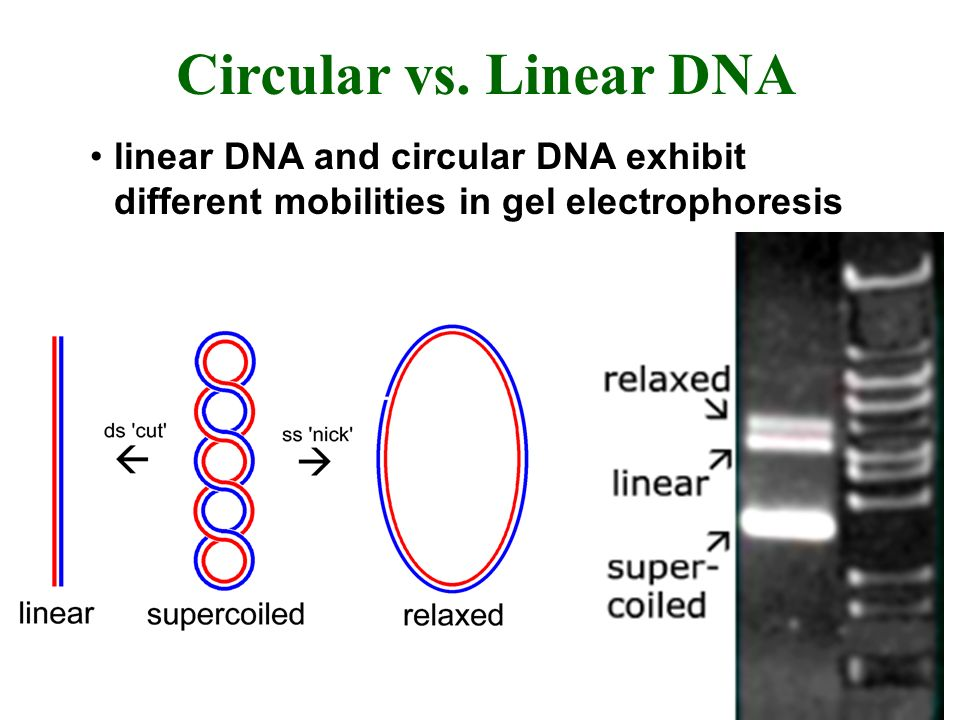 Circular vs. Linear DNA linear DNA and circular DNA exhibit different mobilities in gel electrophoresis