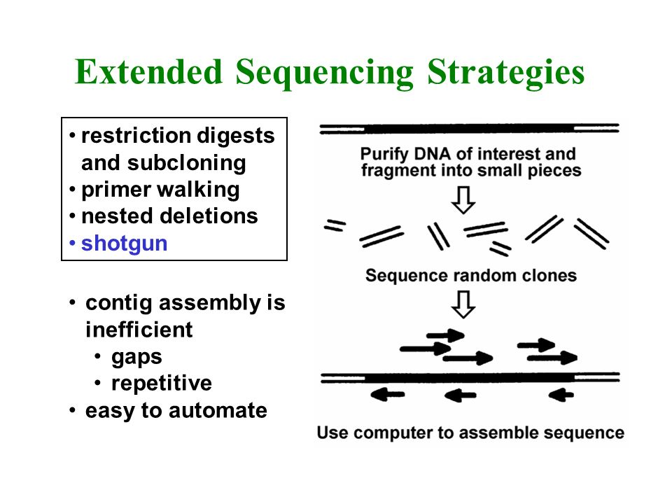 Extended Sequencing Strategies restriction digests and subcloning primer walking nested deletions shotgun contig assembly is inefficient gaps repetiti