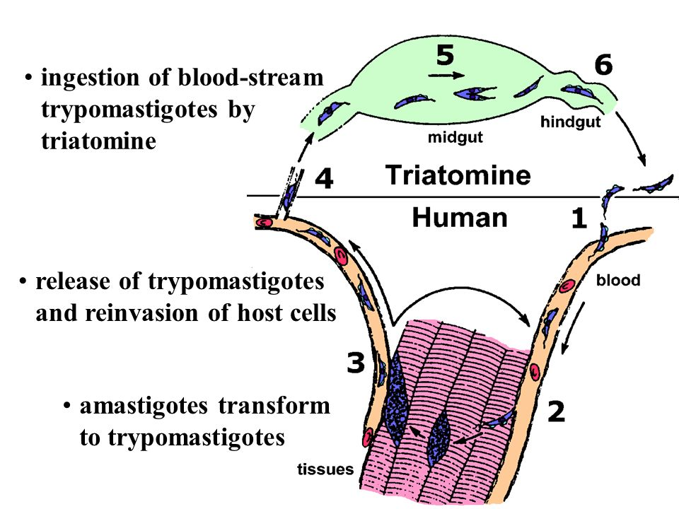 conversion to epimastigotes and replication in midgut migration to hindgut and transformation to trypomastigote