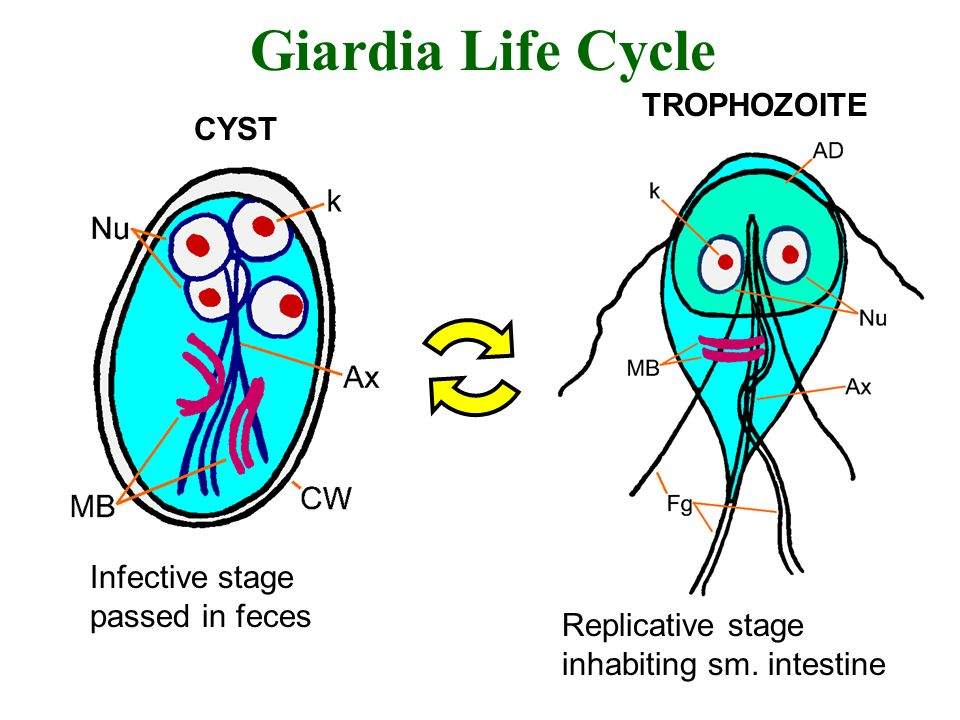 Giardia Life Cycle Infective stage passed in feces Replicative stage inhabiting sm. intestine TROPHOZOITE CYST